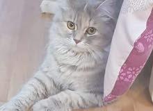 قطة شيرازي بيور مطعمة وولود