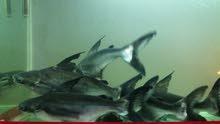 حوض سمك كبير مع اسماك مفترسه بسعر مغري