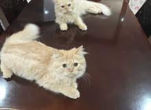 2 قطط شيرازية ب900