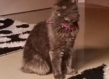 قطة شيرازي مون فيس اللون رمادي العمر سنة ونصف