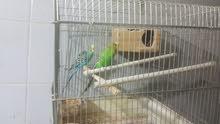 زوج عصافير كناري