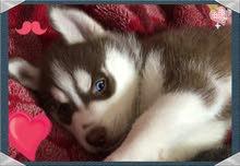 للبيع كلاب هاسكي للبيع 7 شهور متطعمين ثماني وعيون زرقاء لونهم بني