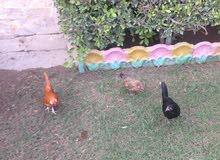 ديج ودجاجتين بلتم حلوات للبيع الديج برتقالي فول ودجاجات مشجرات