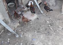 دجاج للبيع شلع نضاف وملقحات