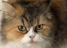 قطة شيرازية - بسه مون فيس