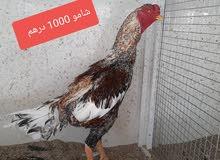 للبيع دجاج شامو وتايلندي وباكستاني