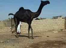 للبيع الموقع السودان مجهم زرقا وتوصيلها للكفره