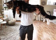 Maine Coon cats for sale / عرض العيد قطط مينكون للبيع