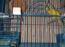 طيور باقلينو للبيع بالقفص