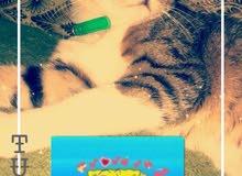 قطه ع السوم