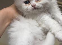 قطط شيرازي نوع بيور الأم بيكي و الأب امريكي