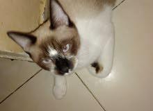 قطط صيامو غكدول للبيع
