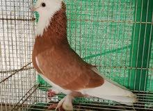 مطلوب طيور ايرانيات الي عندة لا يقصر