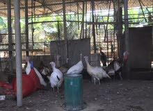 دجاج رومي بياض ( منتج )