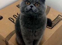 قطط ذكور للتزاوج بريتيش و سكوتش فولد 55170670