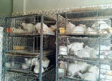 مطلوب شريك لمحل دجاج حي في الزرقاء