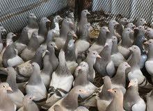 طيور - زغاليل - بط - سمان - دجاج - ديوك