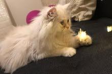 قطه شيرازي بيور من ام هاف و اب هملايا.