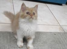قطه شيرازي امريكي مع اغراضها