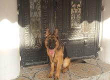 للبيع كلب بوليسي ذو صفات عاليه لاسرع متصل