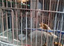 طيور كنار للبيع او البدل
