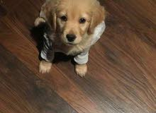 Dog golden retriever puppy PURE female 2month