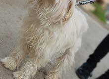 كلبة زينا مفقودة في منطقت سوق الجمعة بتحديد الحشان