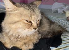قط شيرازي العمر شهرين ( أليف جدا )