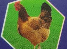 دجاج ابيض مزرعه
