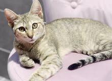 Beautiful cat Biscuit