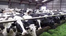 خلطات للأبقار مكفولة100%