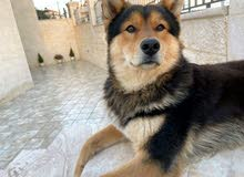 German Shepherd/ Husky Mix Dog for Adoption