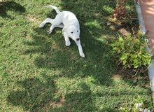 Femal Labrador retriever