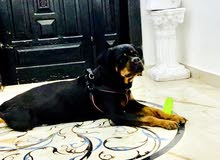 Rottweiler  female  2 years 7 months very clean