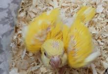 monck/Quaker chick