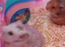 هامستر مجانا للتبني hamster for adoption