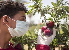 عمال لجمع الطماطم في مزرعة