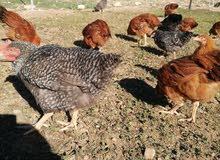 دجاج الحبشية للبيع