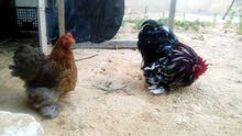 دجاج استرالي البيع