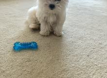 mini maltese 3 month old puppy in Dubai