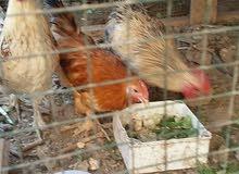 دجاج كوجن ريش
