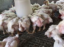 بيع دجاج تربيه