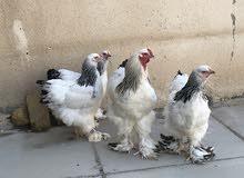 دجاج براهما دكتوره للبيع