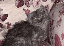 قطط شيرازي من ام شيرازي واب هيمالايا