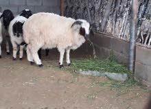 خروف وطني للبيع  كاش او شيك مصدف