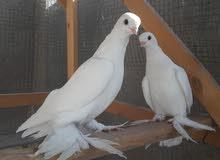 زوج طيور زينه كنبك بيض اصليات كلش راقيات وكلاشهن قوي ومواصفاتهن فول الفول