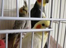 طيور كوكتيل للبيع