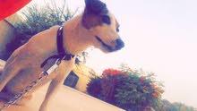 كلب الجاك راسل للمبادله بكلب الجيرمن او للبيع