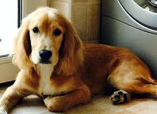 Male Cocker Spaniel 2 Months   كلب نوع كوكر سبانيال شهرين