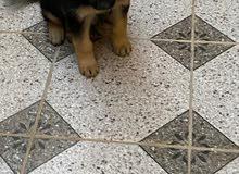 كلب جرو بيور جيرمن شيبرد